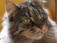 Maine Coon Cats Gentle Giants