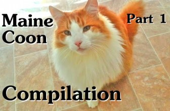 Maine Coon Compilation – Part 1 of Maine Coon Cats Doing Maine Coon Things