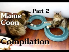 Maine Coon Compilation – Part 2 of Maine Coon Cats Doing Maine Coon Things