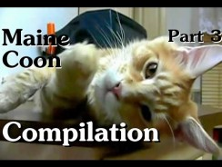 Maine Coon Compilation – Part 3 of Maine Coon Cats Doing Maine Coon Things