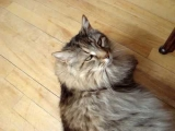 Maine Coon Psychotherapy