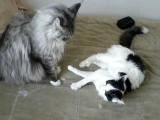 Maine Coon vs Housecat