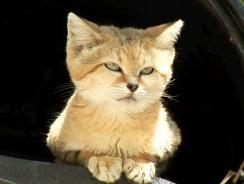 Meet Canyon the SAND CAT