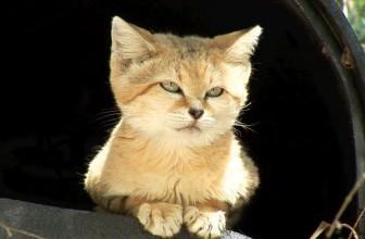 Meet Canyon the SAND CAT