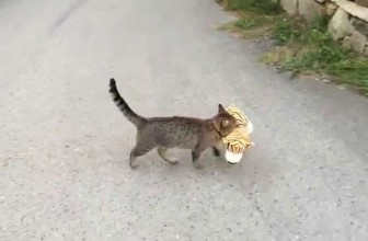 My cat went to the neighbours to borrow a tiger plush toy :
