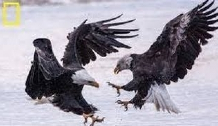 Nat Geo Wild HD American Bald Eagle HD Nature Documentary