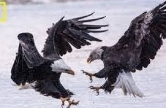 Nat Geo Wild HD American Bald Eagle HD Nature Documentary