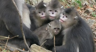 National Geographic Documentary A New Monkey Species Discovered