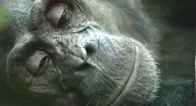Nature Documentary – A Chimpanzees Tale Full Length – National Geographic