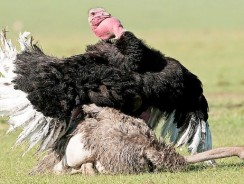 Ostrich Mating Dance – Most Fascinating Mating Rituals