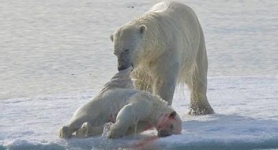 Polar Bear. Cruel Survival Polar Bear – Documentary Films 2017 / Amazing Animals