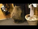 Porcupine who thinks he is a puppy!