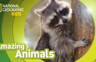Raccoon | AMAZING ANIMALS