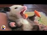 Rescue Possum Loves Her Snacks