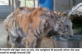 She Was A Neglected Circus Tiger Who Never Felt Love. Then, She Found Her Soulmate