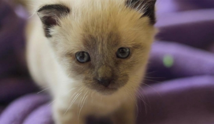 Siamese Kittens Get A New, Troublemaker Sister
