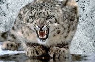 Silent Roar The Snow Leopard National Geographic Documentary 2016