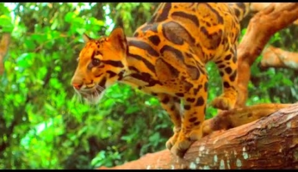 The Beautiful Clouded Leopard