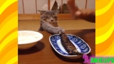 The Funniest and Most Humorous Cat Videos Everrr ✯