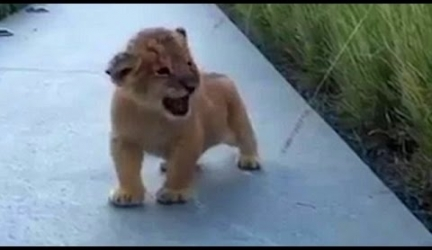 The Littlest Roar, Baby Lion's Howl Sounds More Like A Hiccup