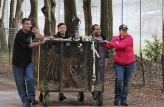 The Rescue Of 5 New Tigers