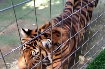 Tigers React Like This Towards Normal Cats !