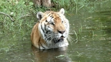TJ Tiger Creates Quite A SPLASH!