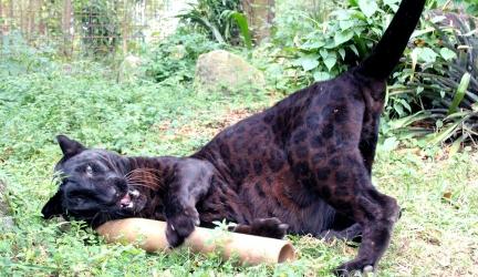 Top 12 Silliest Big Cats