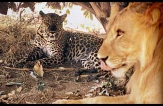 Unlikely Friendship Lion and Leopard Together in the Wild