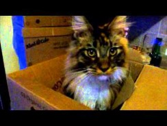 Weird Noises My Maine Coon Cats Make Part One – Quinn