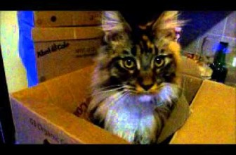 Weird Noises My Maine Coon Cats Make Part One – Quinn