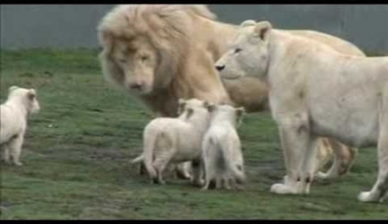 White Lion Family – Cute Cubs Meet Their Father For The First Time