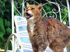 Why Do Cats Miaow? – Cats Uncovered – BBC