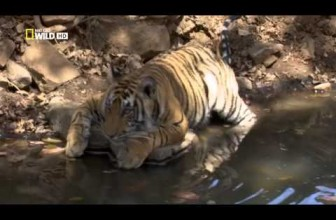 Wild Animal Documentary: Tigers Revenge 2015