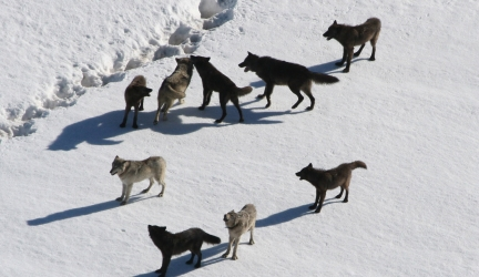 Wolf Pack – Full Documentary