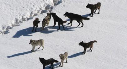 Wolf Pack – Full Documentary