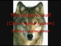 Wolf Species of the World