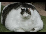 World's Fattest Cats