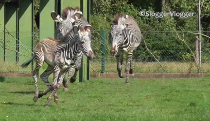Zebra Mum Protects 3 Week Old Foal