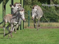 Zebra Mum Protects 3 Week Old Foal